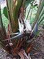 大鶴望蘭 Strelitzia nicolai 20201012124107 01.jpg