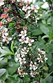 小葉栒子 Cotoneaster microphyllus ? -維也納高山植物園 Belvedere Alpine Garden, Vienna- (28643197843).jpg