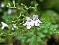新風輪菜 Clinopodium nepeta -香港公園 Hong Kong Park- (29482538003).jpg