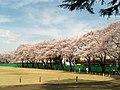 杉並 - 旧NHKグラウンドの桜 - panoramio.jpg