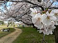 桜 - panoramio.jpg