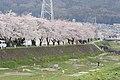 横河川の桜6 - panoramio.jpg