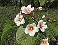 油桐 Vernicia fordii -武漢植物園 Wuhan Botanical Garden- (9229897402).jpg
