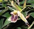 流蘇貝母蘭 Coelogyne fimbriata -香港嘉道理農場 Kadoorie Farm, Hong Kong- (9252404303).jpg