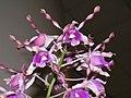 石斛蘭 Dendrobium lasianthera x nindii -香港沙田洋蘭展 Shatin Orchid Show, Hong Kong- (9198102701).jpg