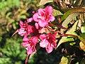 紅王子錦帶花 Weigela florida Red Prince -英格蘭 Brockhole, England- (9207631686).jpg