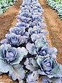 紫色高麗菜 20191121171949.jpg