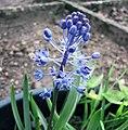 綿棗兒屬 Scilla litardierei -比利時 Ghent University Botanical Garden, Belgium- (9198100209).jpg