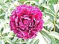 芍藥-皇冠型 Paeonia lactiflora Crown-series -瀋陽植物園 Shenyang Botanical Garden, China- (9198171103).jpg