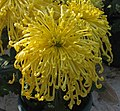 菊花-金盤玉珠 Chrysanthemum morifolium 'Gold Plate Jade Pearls' -香港圓玄學院 Hong Kong Yuen Yuen Institute- (12085267193).jpg