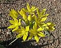 黃花茖蔥 Allium moly -維也納大學植物園 Vienna University Botanical Garden- (28539455522).jpg