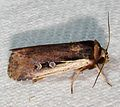 -10891 – Ochropleura implecta – Flame-shouldered Dart Moth (16079304457).jpg