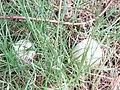 -2018-09-09 Field mushroom, (Agaricus macrosporus), Trimingham (4).JPG