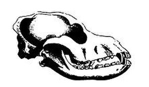 Spaniel - A drawing of a typical skull of a Spaniel
