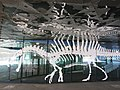 036 Esquelet de Spinosaurus, Museu Blau, pl. Leonardo da Vinci, Fòrum (Barcelona).jpg