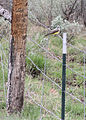 0494 western kingbird munsel odfw (5806251814).jpg