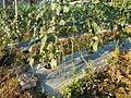 0574jfLandscapes Mabalas Diliman Salapungan Paddy fields San Rafael Bulacan Roadsfvf 06.JPG