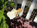 0955jfHibiscus rosa sinensis Linn White Pinkfvf 20.jpg