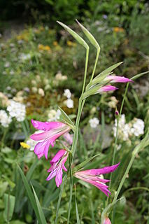 <i>Gladiolus</i> Genus of perennial cormous flowering plants