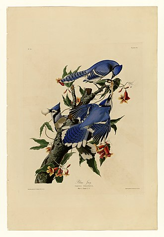 Blue jay - John James Audubon drawing circa 1830s