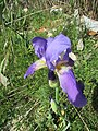 16-04-2017 Unidentified Iris, Albufeira (1).jpg
