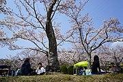 花見シーズンの摂津峡桜公園(大阪府高槻市)