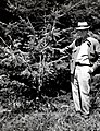 1954. Miles Compton (OSBF) with 25 year old Sitka spruce stunted by many weevil attacks. Young's River Plantation. Seaside, OR. (33497936775).jpg