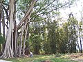2005瑞丽姐相大榕树Banyan tree - panoramio.jpg