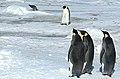 2007 Snow-Hill-Island Luyten-De-Hauwere-Emperor-Penguin-68.jpg