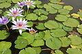 2007 nymphaea colorata 2.jpg