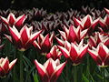 20090501-03 Tulpenweekend Nederland (0020).jpg