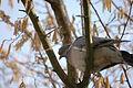 2010-03-10 (3) Ringeltaube, Woodpigeon, Columba palumbus.JPG