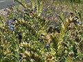 20120626Anchusa officinalis5.jpg