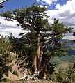 2013-07-12 13 42 54 Gnarled Whitebark Pine in the Copper Mountains of Nevada.jpg