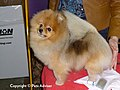 2013 Westminster Kennel Club Dog Show- Pomeranian (8465558461).jpg