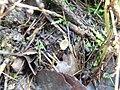 2014-03-02 Ciboria amentacea (Balb.) Fuckel 410474.jpg