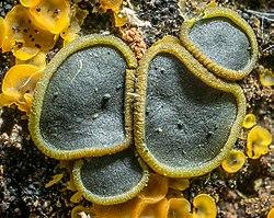2014-08-23 Catinella olivacea (Batsch) Boud 447950.jpg