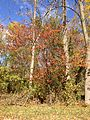 2014-11-02 11 45 54 Black Cherry and other trees during autumn along Upper Ferry Road in Ewing, New Jersey.JPG