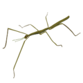 201412 stick insect.png