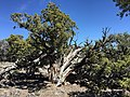 2015-04-27 13 25 53 An older Utah Juniper on the north wall of Maverick Canyon, Nevada.jpg