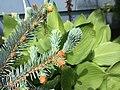 2015-05-17 14 23 28 Blue Spruce new growth on Terrace Boulevard in Ewing, New Jersey.jpg