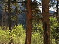 2015-07-13 07 17 59 View east through Bristlecone Pine and Aspen trees from the North Loop Trail about 4.9 miles west of the trailhead in the Mount Charleston Wilderness, Nevada.jpg