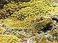 2015 09 Bali 66 triplefin (22080765432).jpg