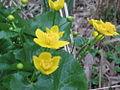 20160409Caltha palustris1.jpg