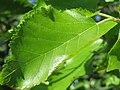 20160720Morus nigra2.jpg