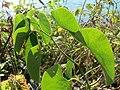 20160907Aristolochia clematitis3.jpg
