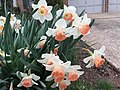 2017-04-03 15 37 35 Daffodils with salmon-colored centers and white petals along Kinross Circle near Scotsmore Way in the Chantilly Highlands section of Oak Hill, Fairfax County, Virginia.jpg