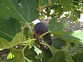 2017-08-03 Fruit on a Fig-tree, Pinhal, Albufeira (2).JPG