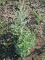 20170729Artemisia absinthium2.jpg