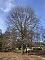 2020-01-15 13 01 46 A mature Pin Oak after having shed all its leaves for winter in Franklin Farm Park in the Franklin Farm section of Oak Hill, Fairfax County, Virginia.jpg